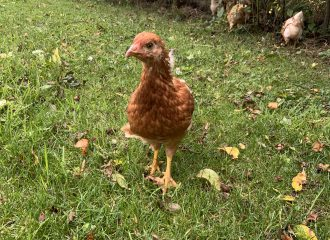 Care home chicken | Grosvenor Care